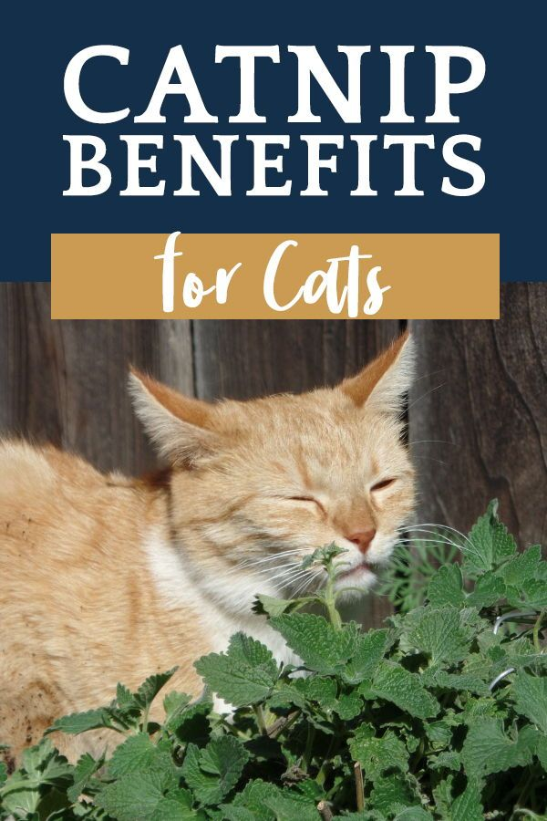 Catnip Benefits for Cats Cats, Pet care