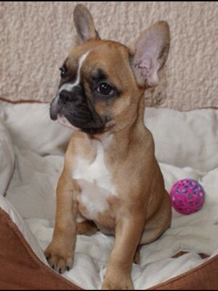 red fawn pied french bulldog puppy | fawn french bulldog