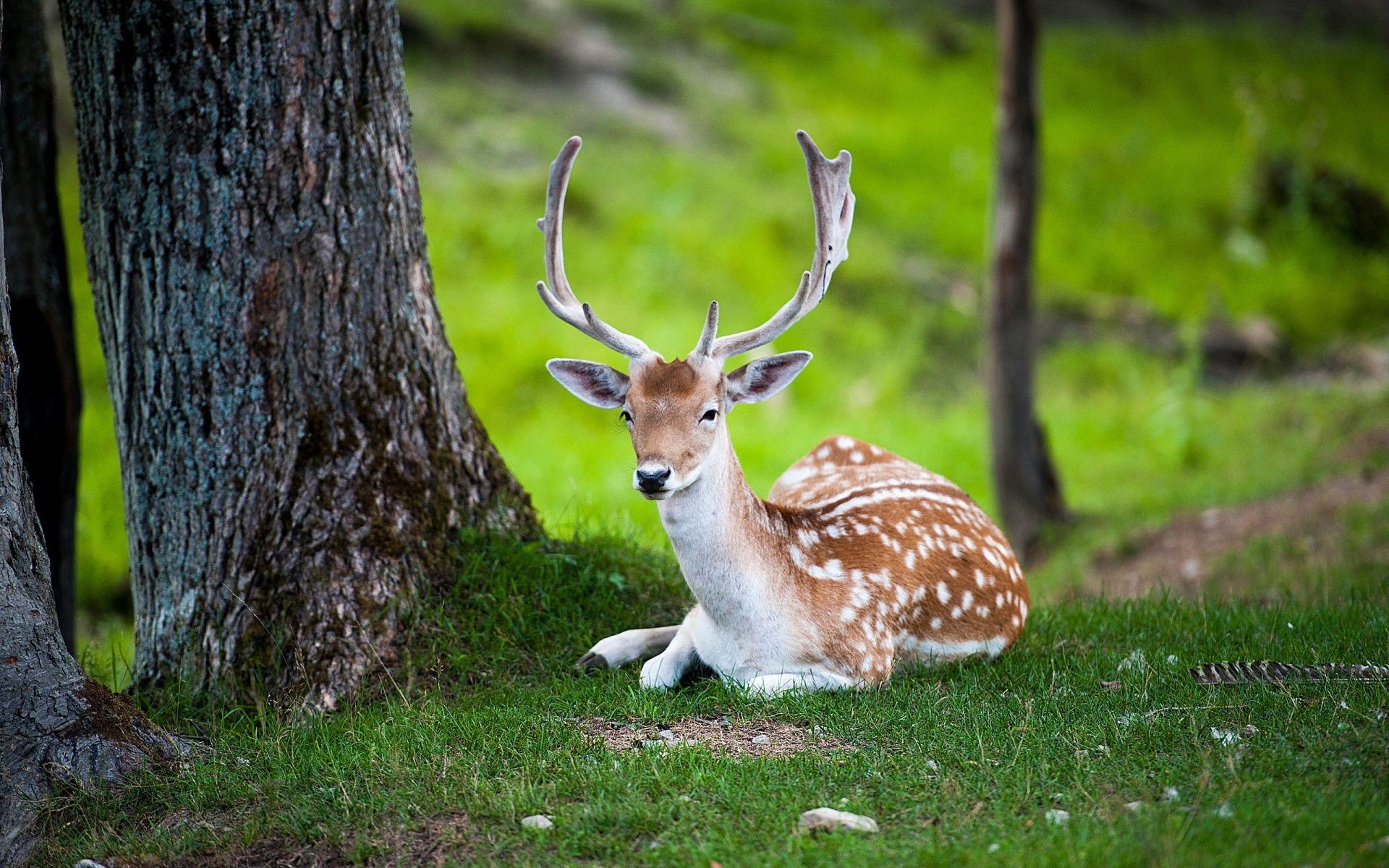 ultra hd deer nature 1920 1200 ultra hd animals wallpapers