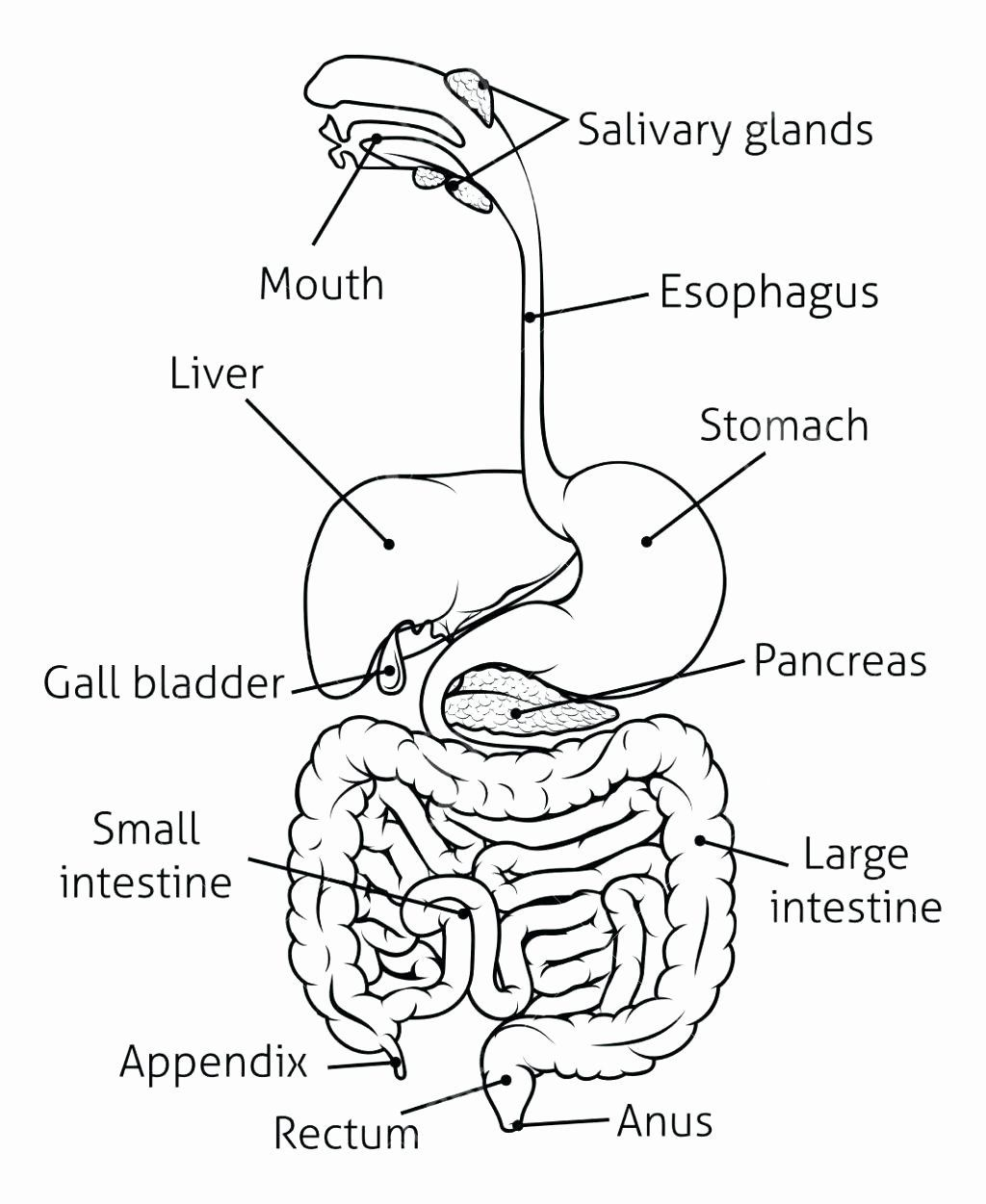 Skin Anatomy Coloring Pages   Human digestive system ...