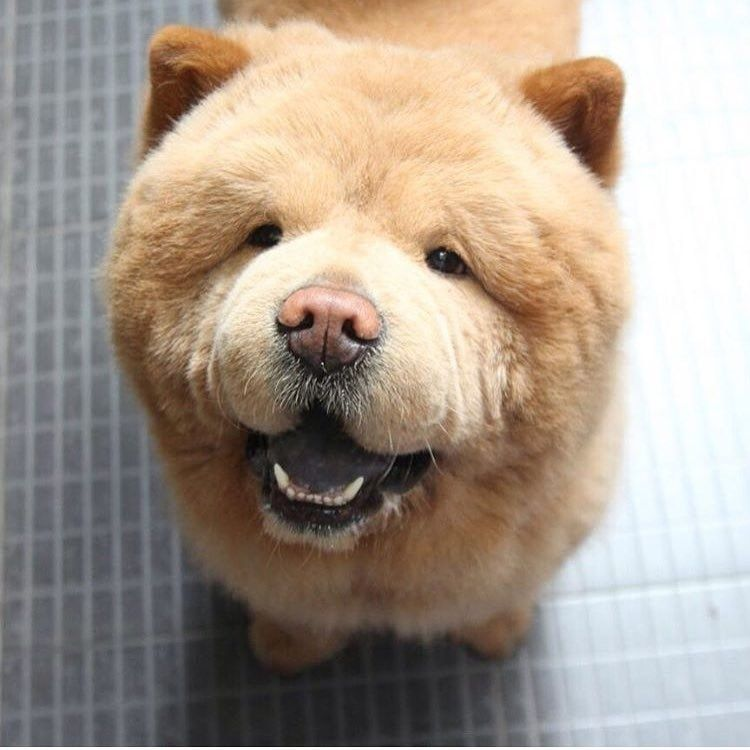 Chowder Is A Very Kind And Loving Dog He Said Chow Chows Are