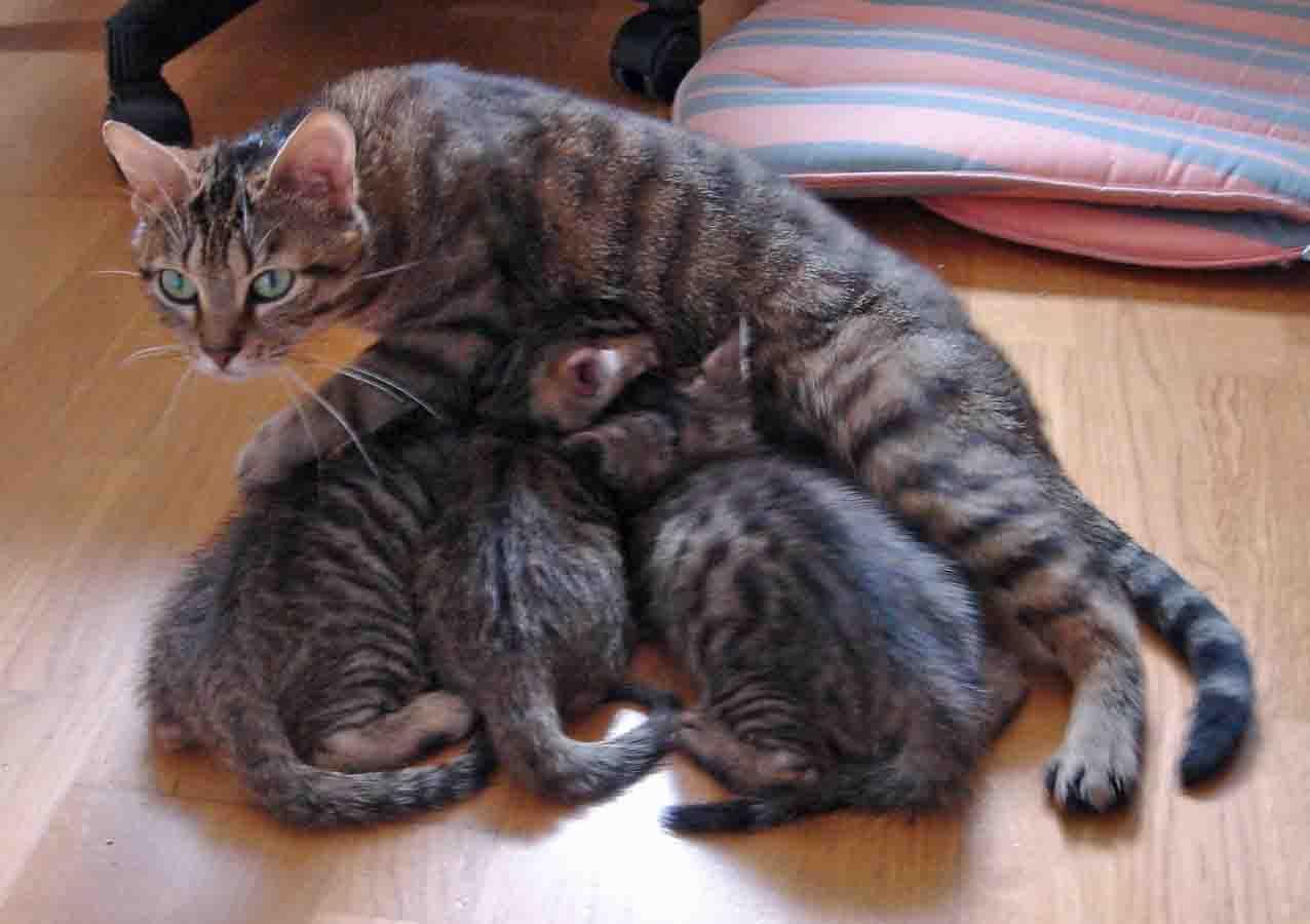 Maman Bloom et ses chatons qui tètent