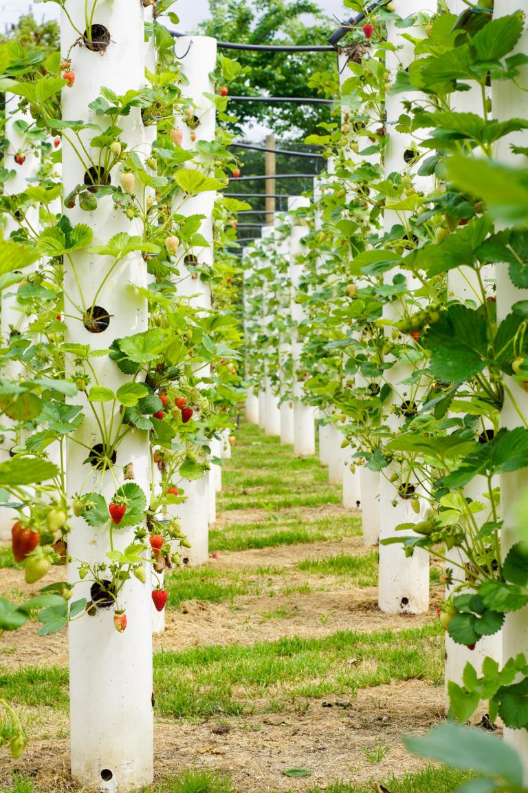 The Strawberry Forest Bacchus Marsh Strawberry Fruit Picking Tot Hot Or Not Hydroponic Gardening Vegetable Garden Diy Fruit Picking
