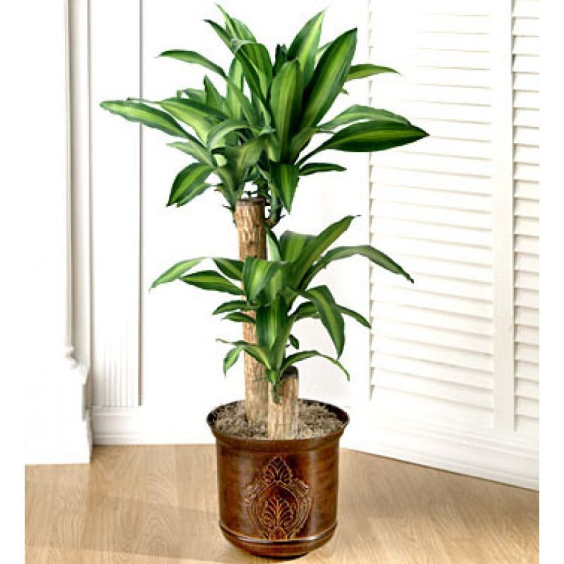 10 Best Popular Indoor Trees To Grow In Your Living Room Tropical House Plants Low Light House Plants Common House Plants