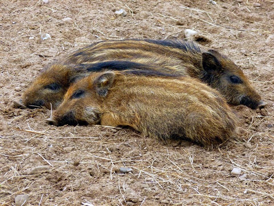 Der Frischling Die Frischlinge Das Junge Wildschwein Die Jungen Wildschweine Deutsch Lernen Deutsch Uben Vokabeln