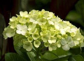 trucos caseros color hortensia