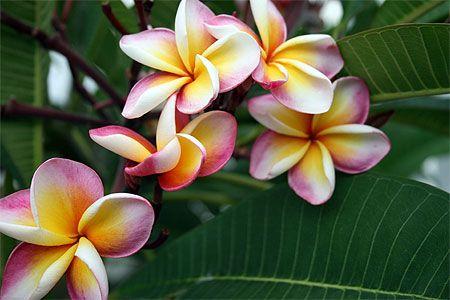 Assez Fleurs de frangipaniers - Île Maurice, Rodrigues | Iles maurice  PE28