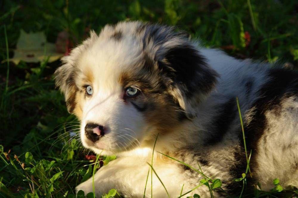 Red german shepherd puppies for sale in california