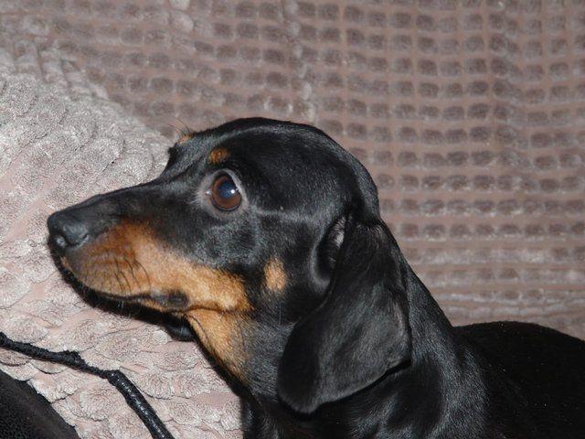Daxi Jacks Miniature Dachshund X Small Jack Posot Class Miniature Dachshund Dachshund Dachshund Lovers