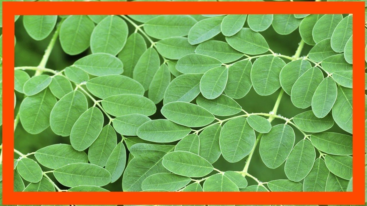 propiedades de la acacia para adelgazar