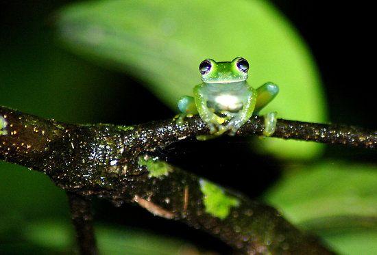 Hyalinobatrachium pulveratum #frogs #amphibians #herpetology