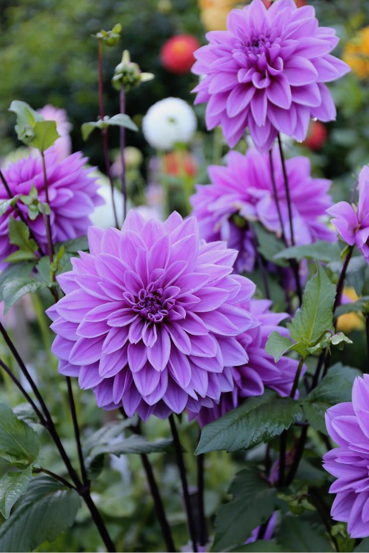 Dahlia Lilac Time Beautiful Flowers Photography Beautiful Flowers Pictures Purple Flowers