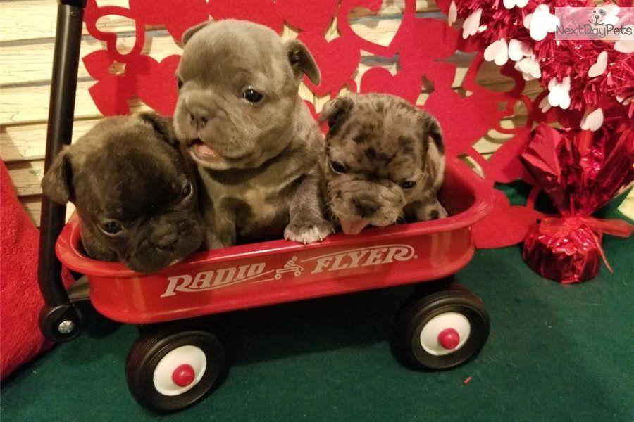 Matilda French Bulldog Puppy For Sale Near Houston Texas