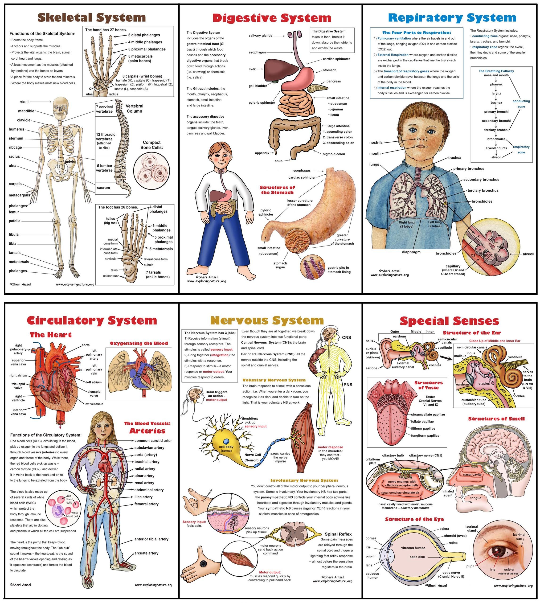 posters for kids usarmycorpsofengineers human body posters for kids ...