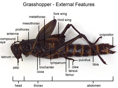 grasshopper dissection | Homeschool Science (elementary) | Pinterest ...
