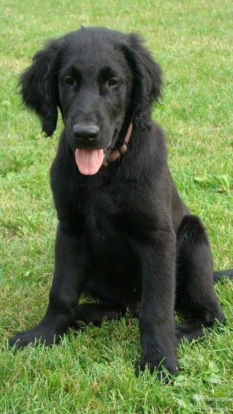 Flatcoated Retriever Flat Coated Retriever Cute Dogs Dog Mom