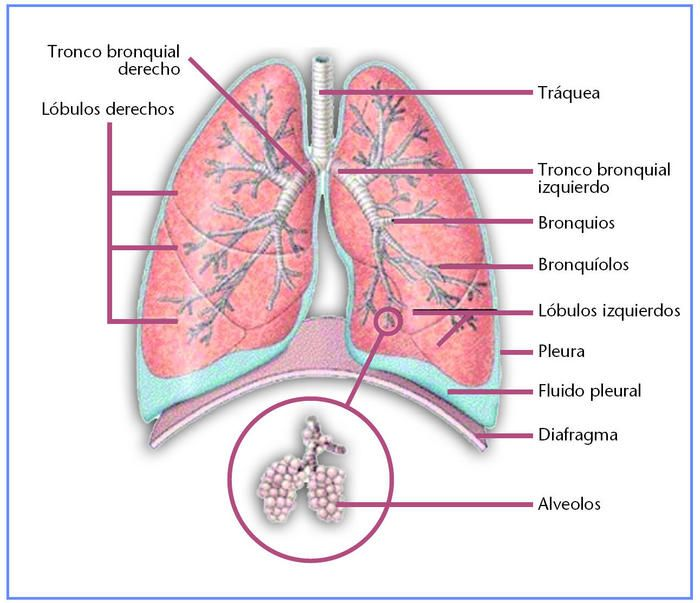 pulmones-anatomia.jpg (700×603) | Órganos | Pinterest | Anatomía
