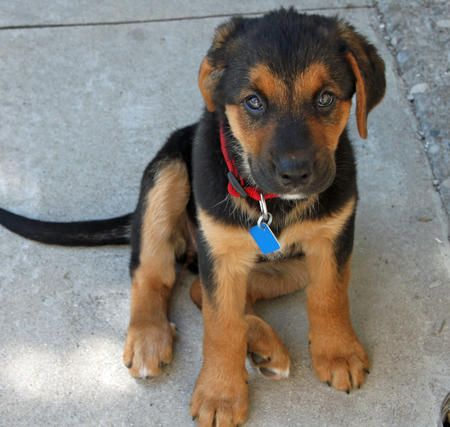 Adorable Lab Bernese Mountain Dog Shepherd Mix Puppy Omg Mom We Are Getting This Dog Like Yesterday Puppies Cute Puppy Names Shepherd Mix Puppies