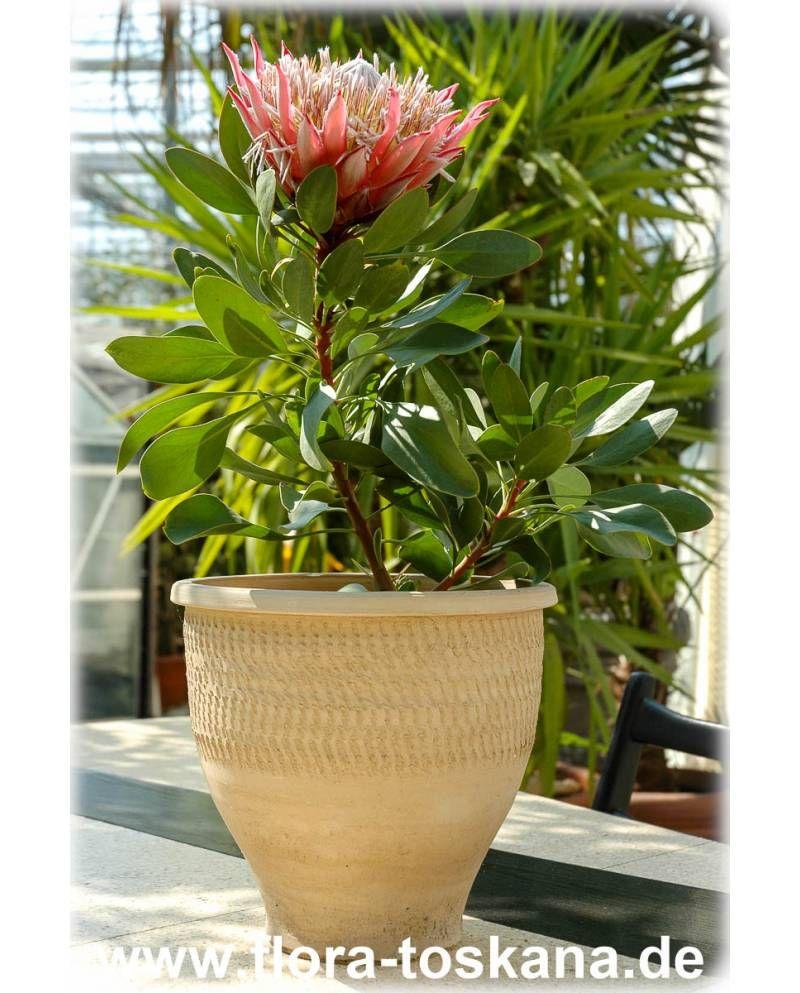 Protea Cynaroides King Protea Giant Protea Hawaiian Plants African Plants Protea Plant