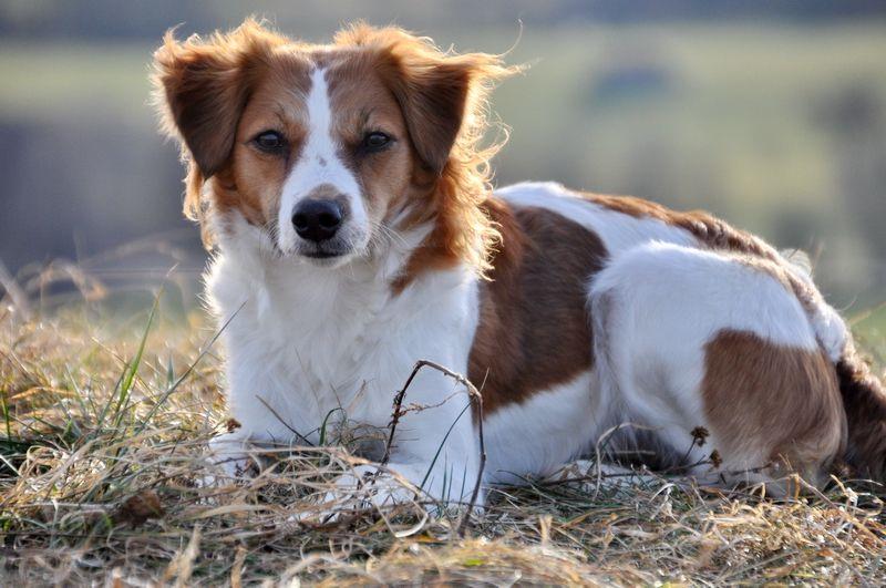 Kromfohrländer Hunde und Tiere