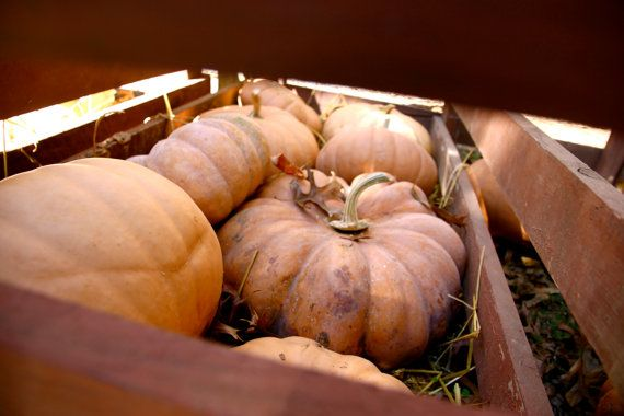 pumpkins! Pumpkin Patch digital 8 x 12 fine art print St. by MakingPies
