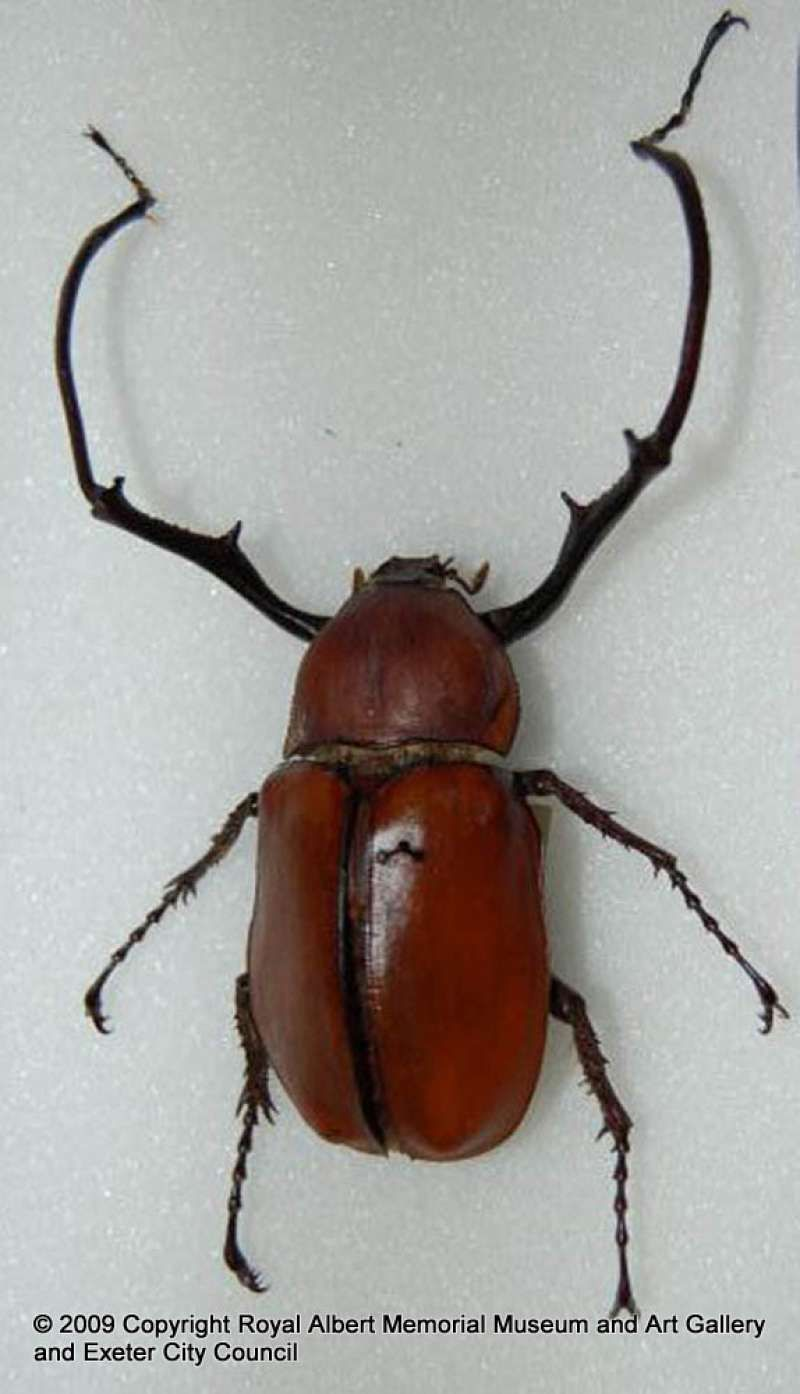 Brown long arm chafer beetle Beetles Bugs and Beasties