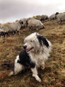 Pagewoman Bearded Collie And Swaledales Ravenseat North