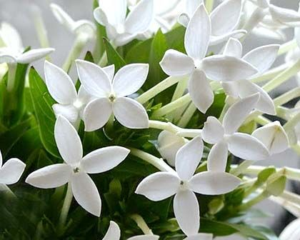 Bouvardia Longiflora White Flowering Plants Bouvardia Flowers White Flowering Shrubs