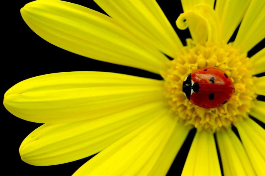 A Ladybug On A Yellow Daisy Flower Photography Of Ladybug
