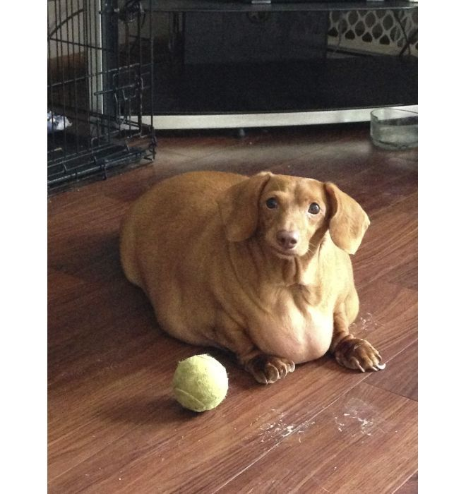 Once Obese Dog Loses 75 Percent Of His Body Weight Dogs Happy