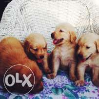 Golden Retriever With Images Labrador Puppy Golden Retriever