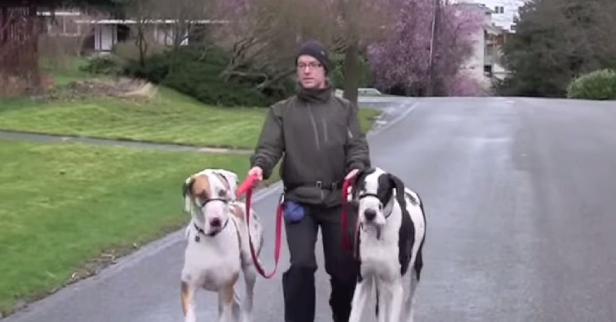 Need Help Walk Training Your Great Dane Dog Trainer Gives Some Of