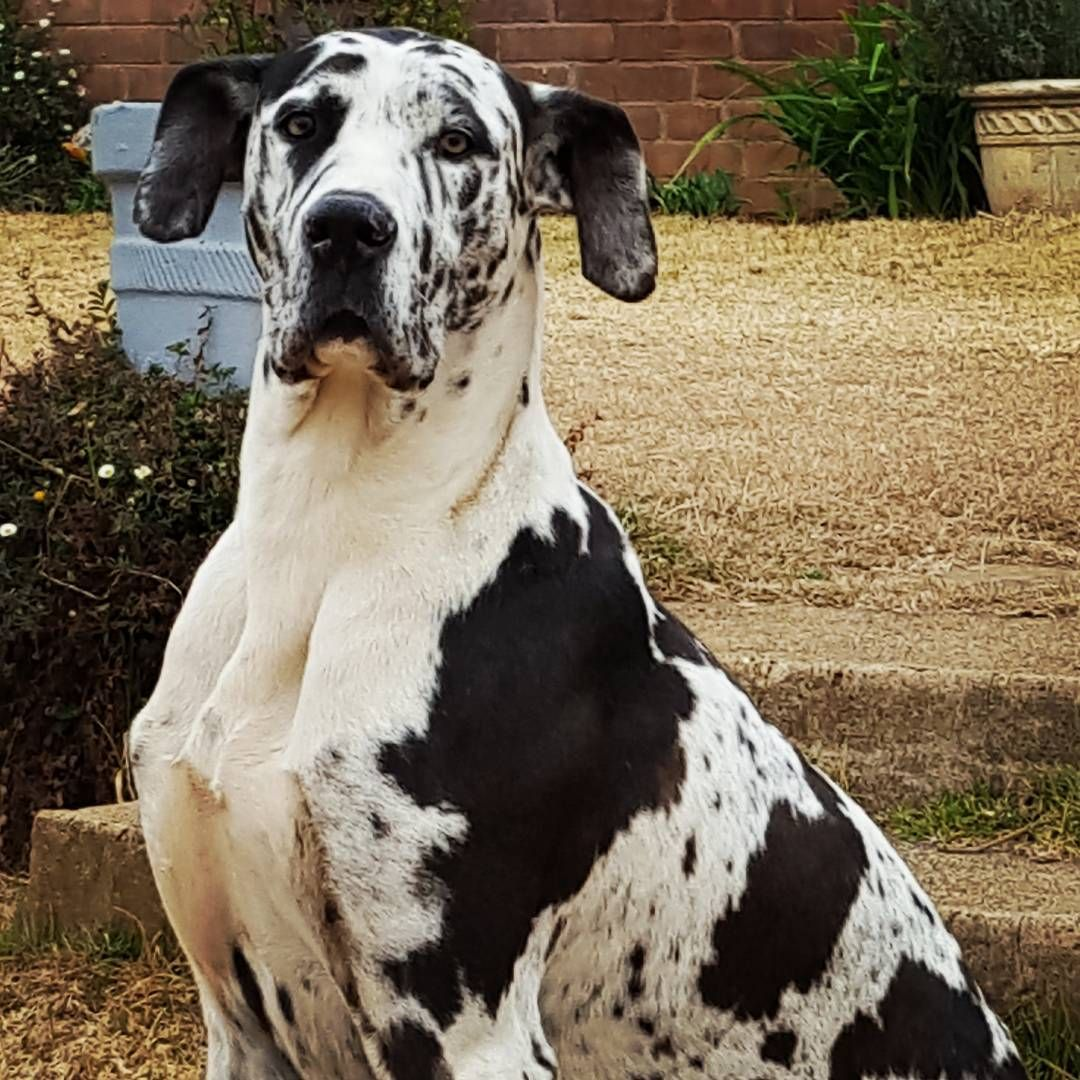 10 Fun Facts You Didn T Know About Great Danes Great Dane Puppy