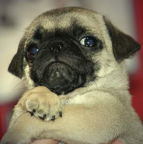 Cute Little Baby Pug Dog Follow Pic For More Awwww Funny Dog