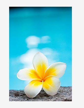 Frangipani flower by the pool