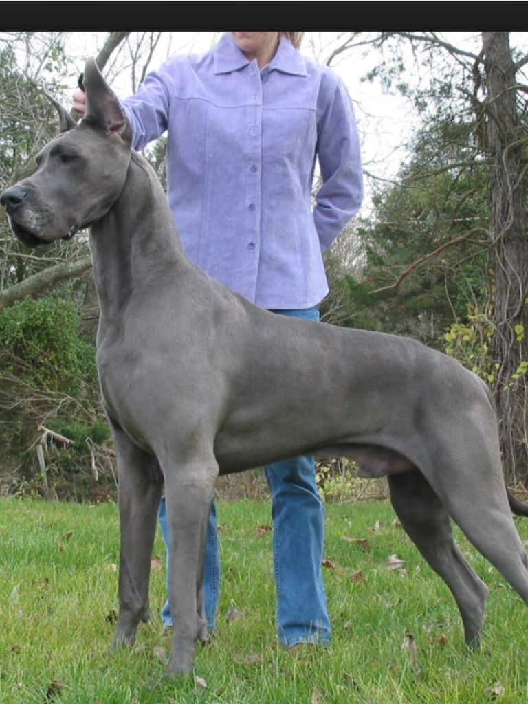 Blue Great Danes Tallest Dog Great Dane Dogs Chiweenie Dogs
