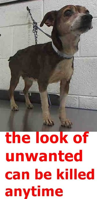 RESCUED --- ASTER (A1786407) I am a female tricolor Terrier mix.  The shelter staff think I am about 8 years old.  I was found as a stray and I may be available for adoption on 05/21/2016. —  Miami Dade County Animal Services. https://www.facebook.com/urgentdogsofmiami/photos/pb.191859757515102.-2207520000.1464548727./1198194970214904/?type=3&theater