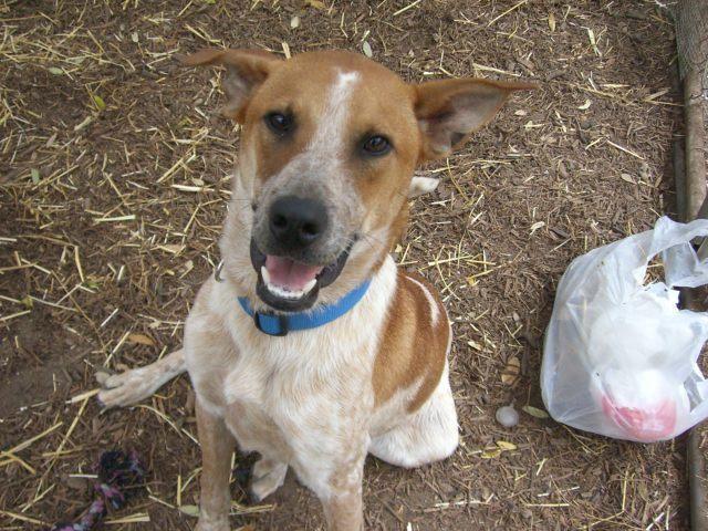 Adopt Rocky On Save A Dog Adoption Homeless Pets