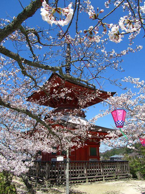 Miyajima Island Cherry Blossoms Cherry Blossom Japan Cherry Blossom Japan