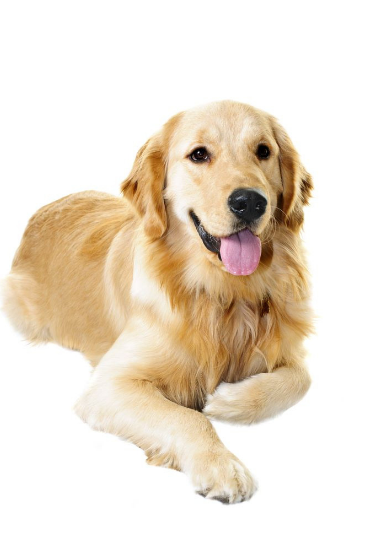 Golden Retriever Pet Dog Laying Down Isolated On White Background Goldenretriever Golden Retriever Dogs Golden Retriever Retriever