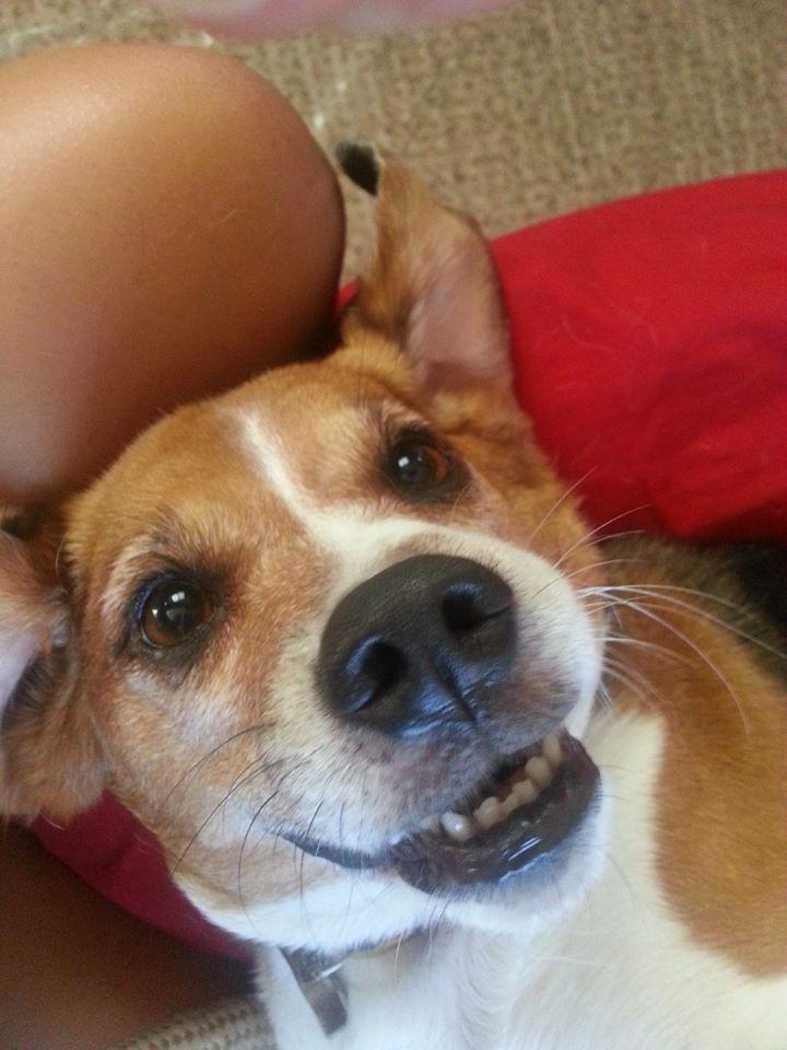 Toothy Beagle Grin Beagle Buddies Baby Beagle Beagle