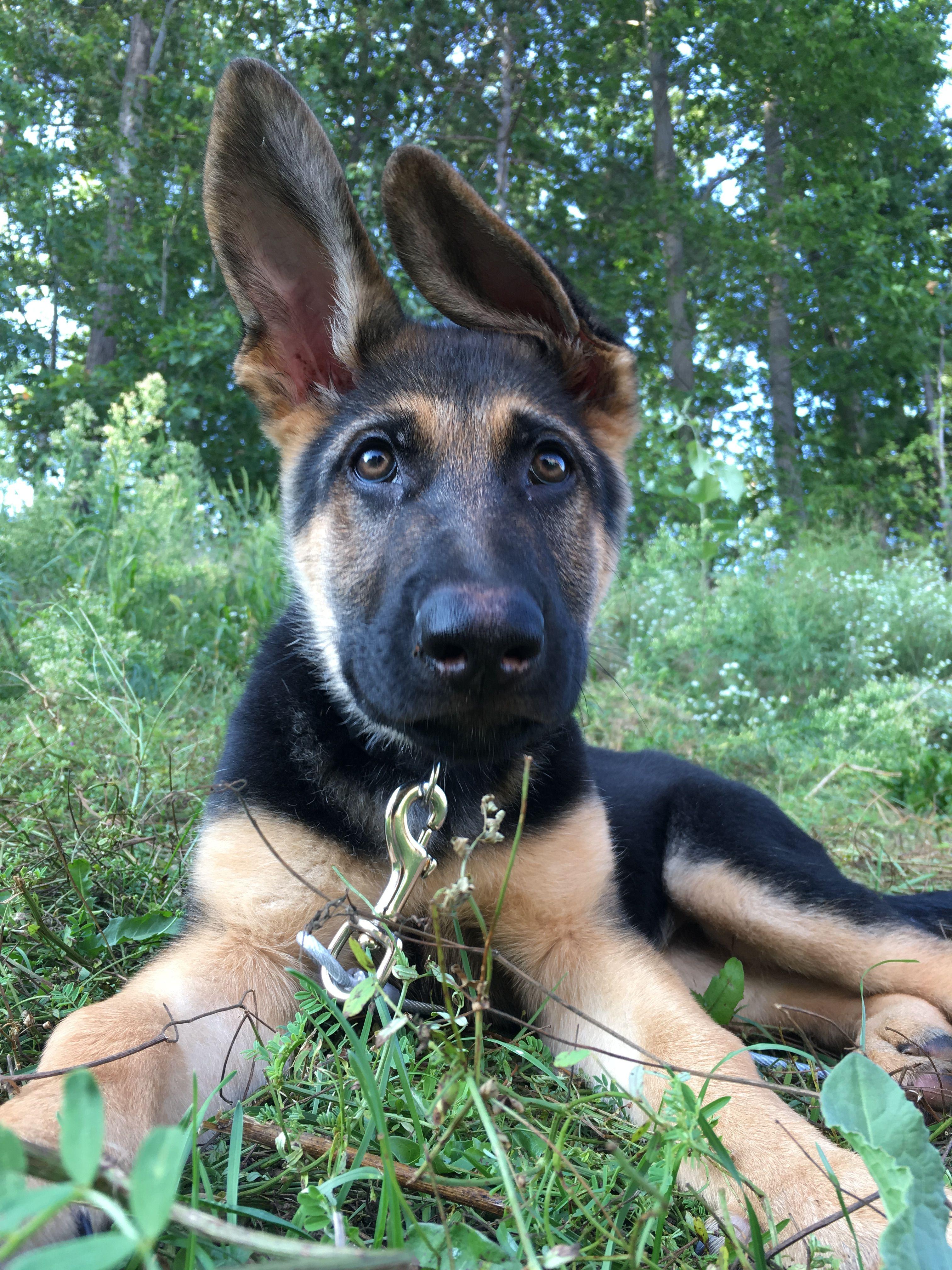 German Shepherd 12 Weeks Gsd Puppies German Shepherd Puppies German Shepherd
