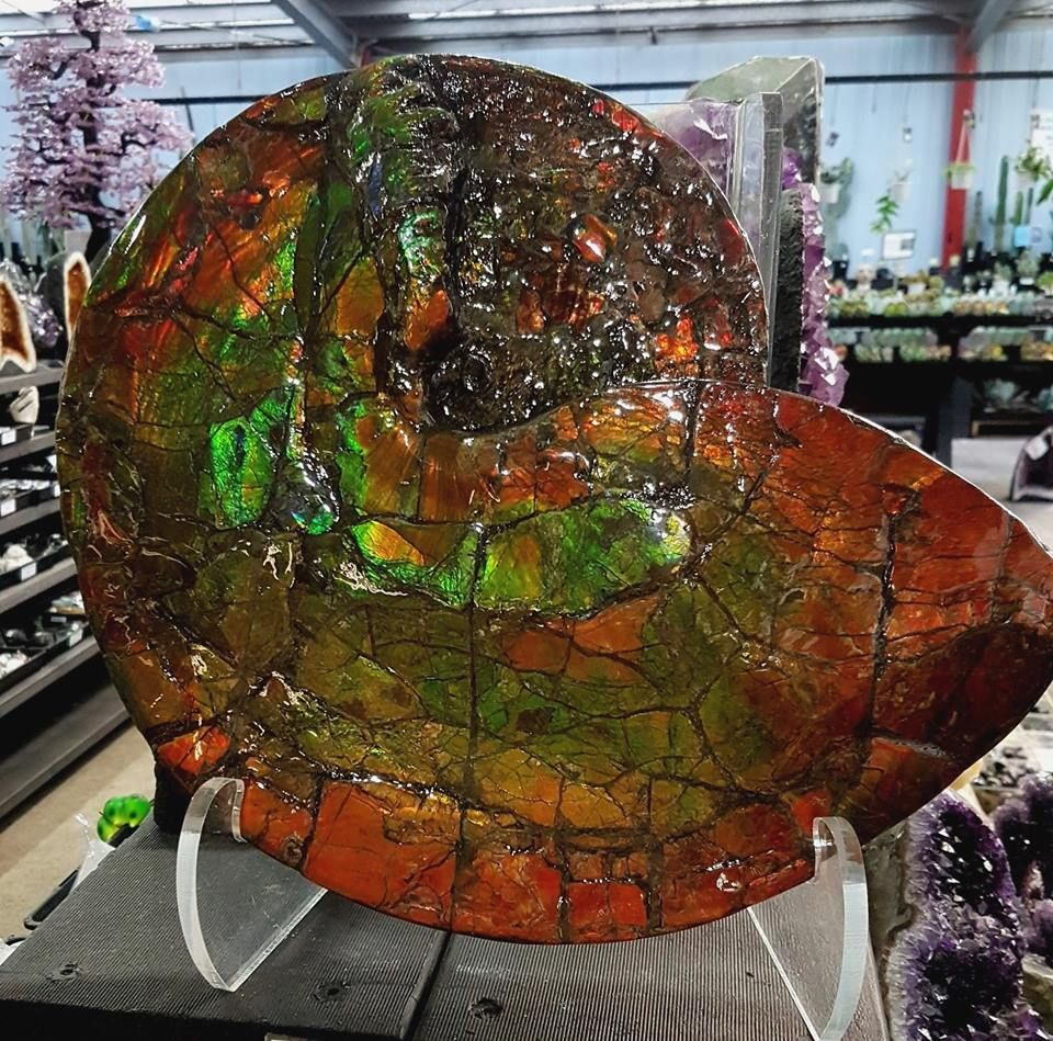 Literary News From All Corners Of The World: Collectors Corner Garden World.· New Ammolite On Display