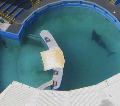 Lolita lives in the smallest killer whale tank on earth. She was ripped away from her family in Washington and has lives alone away from other killer whales for over 30 years.