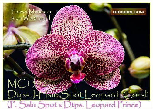 Dtps I Hsin Spot Leopard Coral P Salu Spot X Dtps Leopard Prince Orchid Plants Orchid Flower Orchids