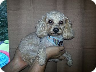 Smyrna Ga Poodle Miniature Mix Meet Curly A Dog For Adoption