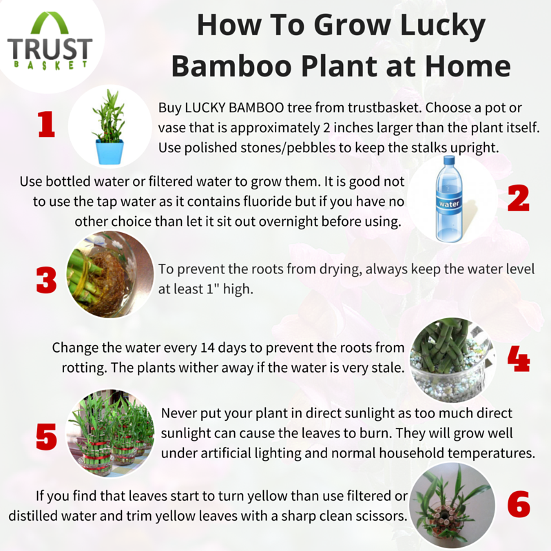 How To Grow Lucky Bamboo Plant At Home Growingtips