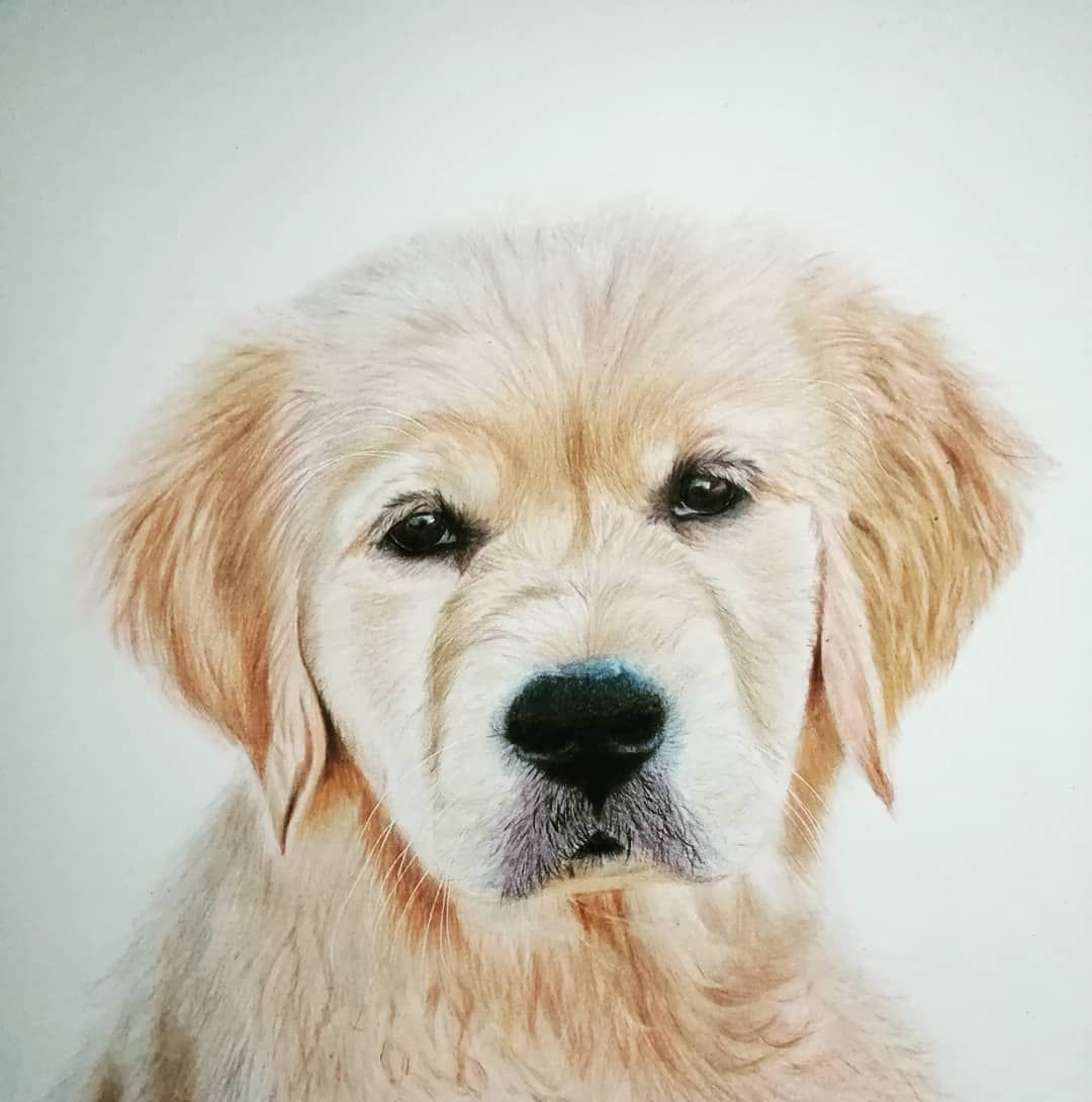 Golden Retriever Puppy Drawn With Coloured Pencils On Strathmore