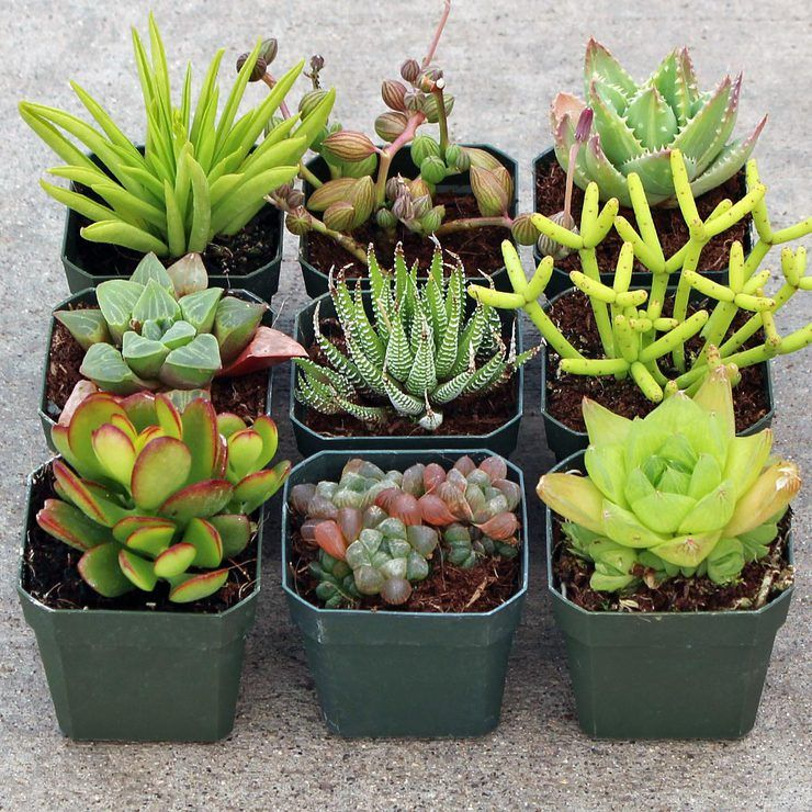 Indoor Succulent Set Of 9 Succulent Landscaping Succulents