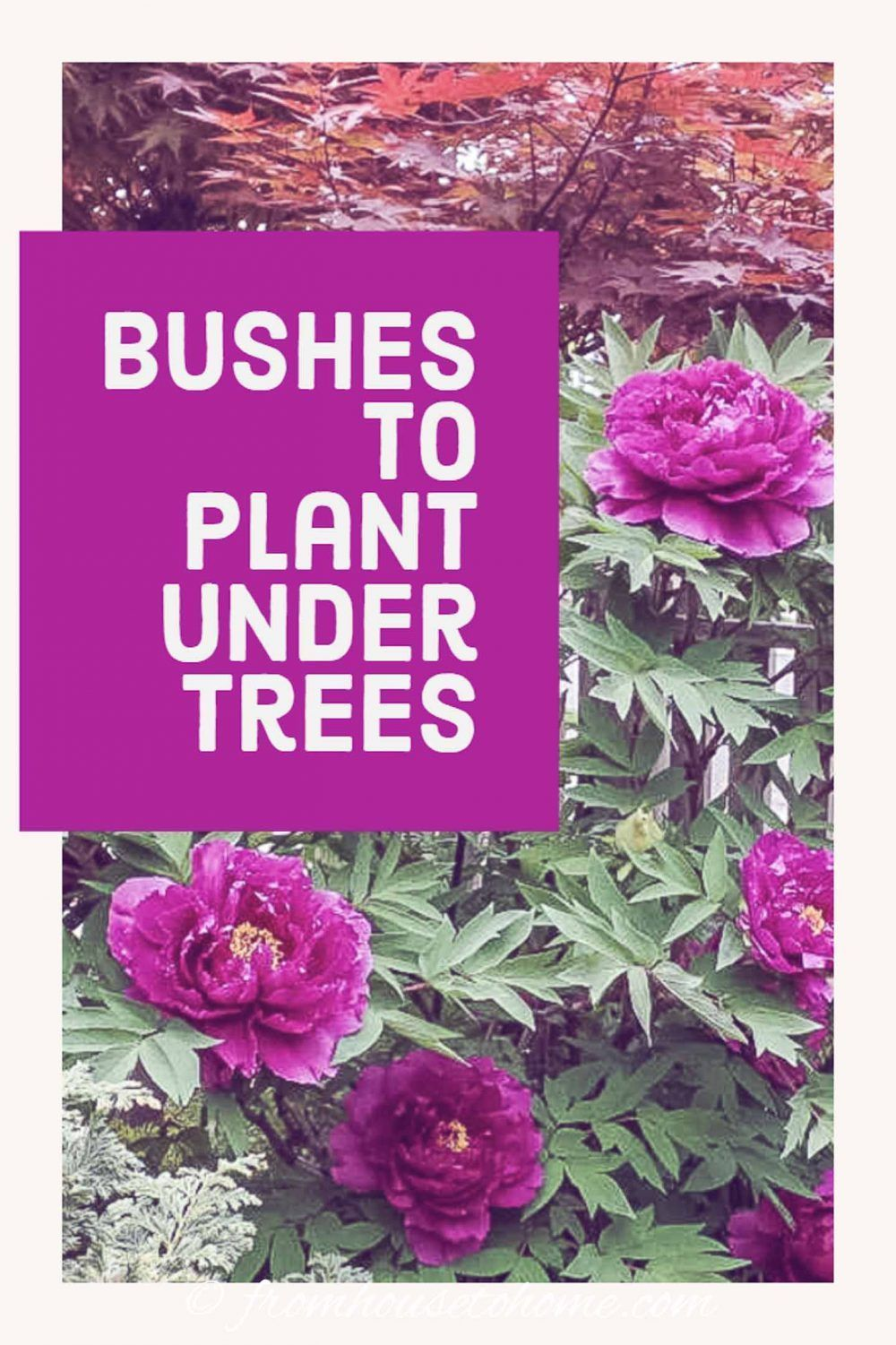 Shade Loving Shrubs: 11 Beautiful Bushes To Plant Under Trees - Gardening @ From House To Home -  This list of bushes that thrive in the shade is AWESOME! So many beautiful flowers and they are all - #beautiful #bushes #CactusFlower #ContainerGarden #FlowersGarden #gardening #home #House #Irises #loving #OrnamentalGrasses #PerennialGardens #plant #shade #ShadePerennials #ShadePlants #shrubs #Trees #under